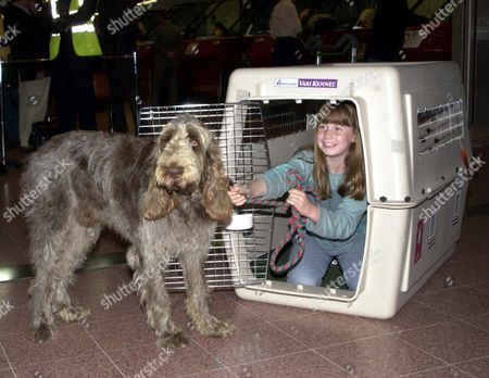 Stock Image of 10 YEAR OLD CHARLOTTE GRAHAM FROM JERSEY WHO IS EMIGRATING TO CANADA, TRIES TO GET HER ITALIAN SPINONE DOG 'BUNNGI' INTO THE DOG BOX