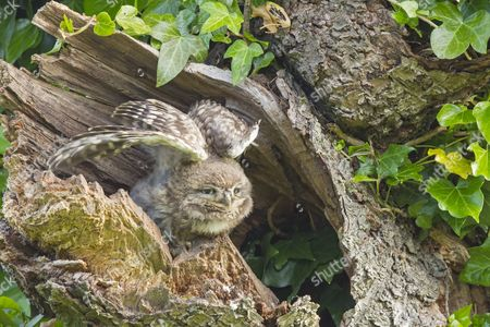 Little Owl (Athene noctua) young, stretching wings, perched at nesthole entrance in morning, Oxfordshire, England, June