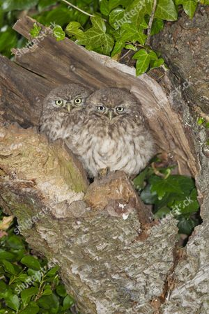Little Owl (Athene noctua) two young, perched at nesthole entrance at night, Oxfordshire, England, June