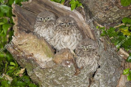 Little Owl (Athene noctua) three young, perched at nesthole entrance at night, Oxfordshire, England, June