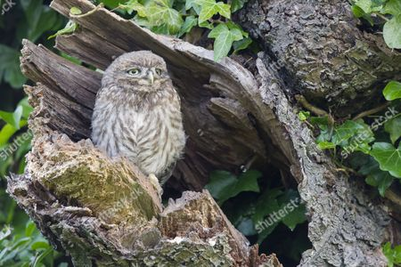 Little Owl (Athene noctua) young, perched at nesthole entrance in early morning, Oxfordshire, England, June