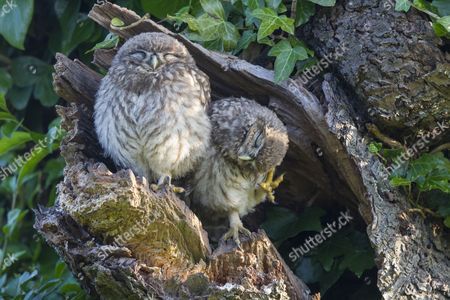 Little Owl (Athene noctua) two young, one scratching head, perched at nesthole entrance in early morning, Oxfordshire, England, June