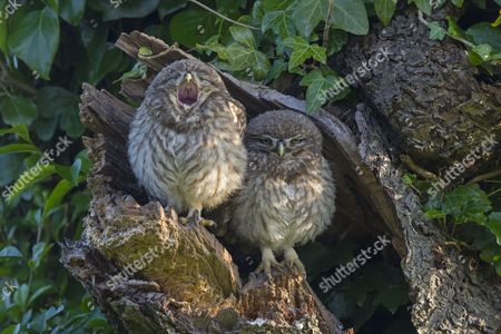 Little Owl (Athene noctua) two young, one yawning, perched at nesthole entrance in early morning, Oxfordshire, England, June