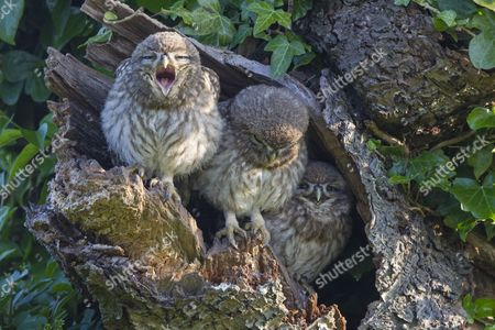 Little Owl (Athene noctua) three young, one yawning, perched at nesthole entrance in early morning, Oxfordshire, England, June