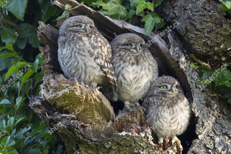 Little Owl (Athene noctua) three young, perched at nesthole entrance in early morning, Oxfordshire, England, June