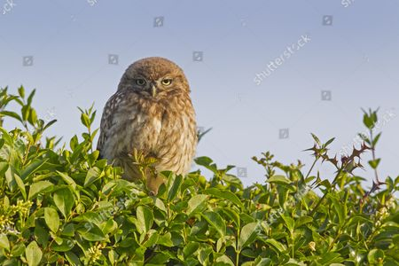 Little Owl (Athene noctua) young, perched on hedge near nestsite in early morning, Oxfordshire, England, June
