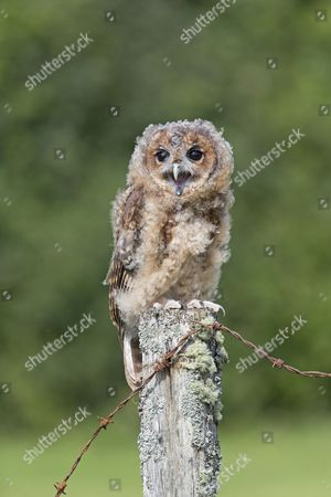 Tawny Owl (Strix aluco) juvenile, calling, perched on fencepost, August (captive)