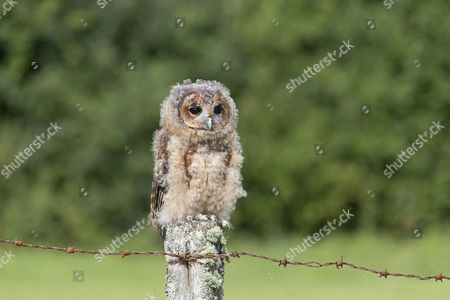 Tawny Owl (Strix aluco) juvenile, perched on fencepost, August (captive)