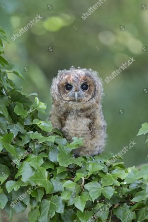 Tawny Owl (Strix aluco) juvenile, perched amongst ivy, August (captive)