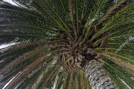 Canary Island Date Palm (Phoenix canariensis), palm fronds and trunk, Madeira, Portugal