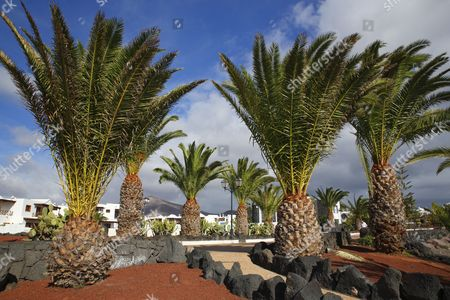 Canary Island Date Palms (Phoenix canariensis) on the Paseo Maritimo beach promenade, apartment complex, Las Coloradas, Playa Blanca, Lanzarote, Canary Islands, Spain
