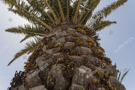 Stock Photo of Canary Island Date Palm (Phoenix canariensis), stem covered with Monanthes plants of the Crassulaceae family (Monanthes), yellow flowers, Lanzarote, Canary Islands, Spain