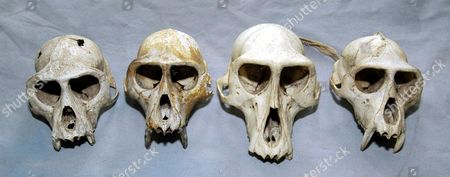 A SELECTION OF PRIMATE SKULLS