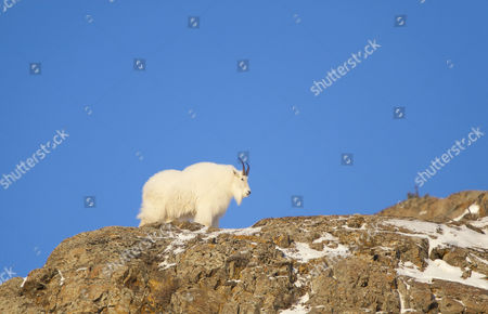 Stock Photo of Billy, male Mountain Goat (Oreamnos americanus) on rock cliff, Yukon Territory, Canada