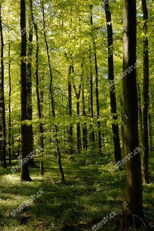 Spring in a Hornbeam (Carpinus betulus) forest