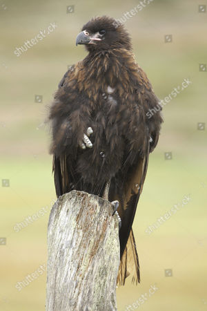 Striated Caracara or Johnny Rook (Phalcoboenus australis), Falkland Islands, South America