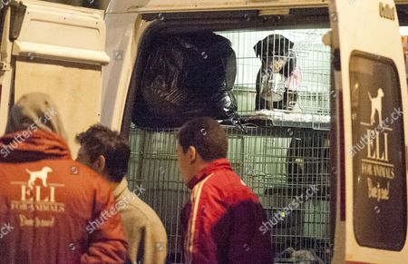 Editorial picture of Stray Dogs Imported From Romania By The Charity K9rescue Being Processed At The Animal Reception In Calais. Picture David Parker 5.04.14 Reporter Lucy Osborne.