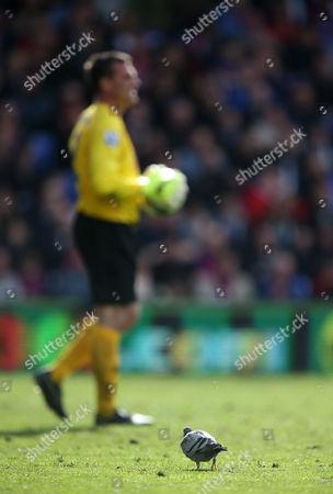 A pigeon wanders around Hull City goalkeeper Steve Harper