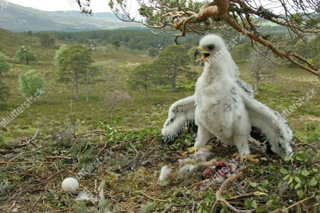Golden Eagle (Aquila chrysaetos) four-week old chick and unhatched egg at nest in pine tree, Cairngorms National Park, Highlands, Scotland, United Kingdom, Europe