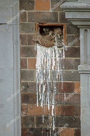 Common Kestrel (Falco tinnunculus) young, nesting in factory wall airbrick