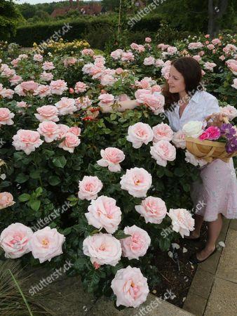Editorial photo of Rose garden at RHS Garden Wisley, Surrey, Britain - 18 Jun 2015