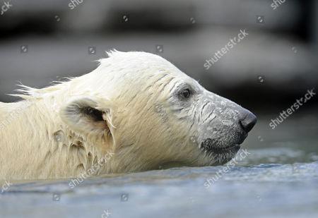 Young polarbear Wilber (Ursus maritimus), Wilhelma Stuttgart, Baden-Wuerttemberg, Germany, Europe