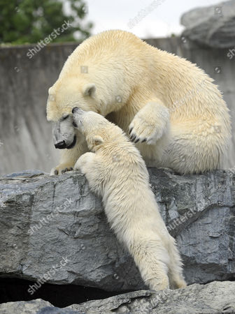 Young Polarbear Wilber with mother Corinna (Ursus maritimus), Wilhelma Stuttgart, Baden-Wuerttemberg, Germany, Europe