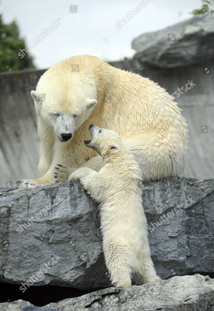 Stock Picture of Young polarbear Wilber with mother Corinna (Ursus maritimus), Wilhelma Stuttgart, Baden-Wuerttemberg, Germany, Europe
