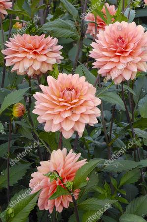 Dahlia (Dahlia hybrida), Yelno Harmony variety