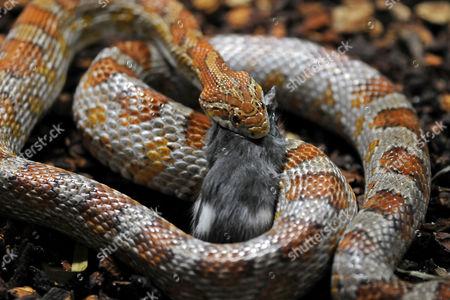Stock Photo of Corn Snake or Red Rat Snake (Pantherophis guttatus, Elaphe guttata guttata) eating a mouse
