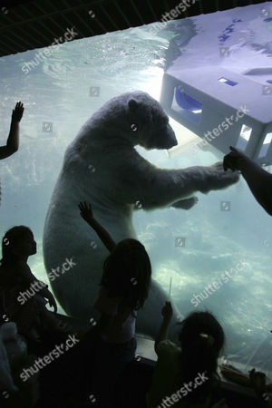 USA, United States of America, New York City: Polar bears in central park zoo.