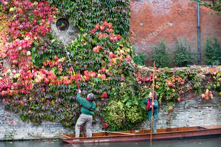 Picture shows St Johns College gardeners Adam Magee (right) and his colleague Mick Ranford on a punt on the River Cam in Cambridge trimming the wall of Boston Ivy