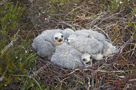 Hen Harrier (Circus cyaneus), chicks, in nest on moorland in spring, Sutherland, Scotland, United Kingdom, Europe