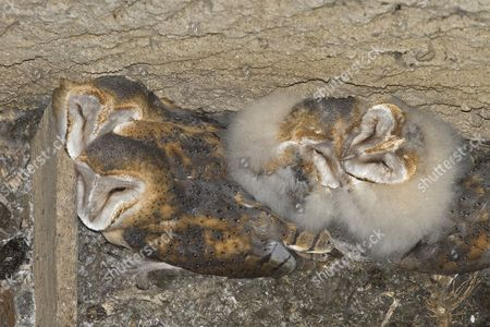 Barn Owl (Tyto alba), four chicks, various ages, at nest in bottom of dry well, Spain, Europe