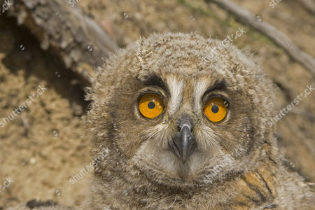 Eurasian Eagle-owl (Bubo bubo), chick, portrait, near nest, Spain, Europe