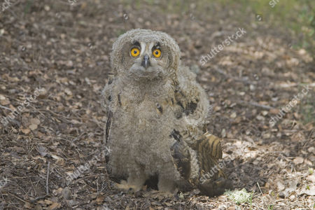 Eurasian Eagle-owl (Bubo bubo), chick, standing on ground near nest, Spain, Europe