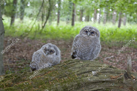 Tawny Owl (Strix aluco), two chicks, perched on log in woodland, England, United Kingdom, Europe