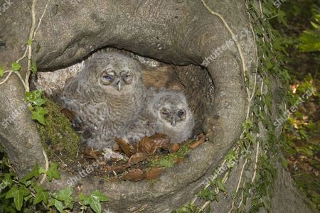 Tawny Owl (Strix aluco), two chicks, sitting on nest in tree trunk, Norfolk, England, United Kingdom, Europe