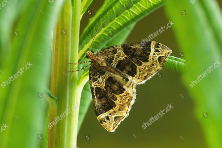 Small Phoenix Moth (Ecliptopera silaceata), adult, resting amonst leaves of Rosebay Willowherb, larval foodplant, Powys, Wales, United Kingdom, Europe