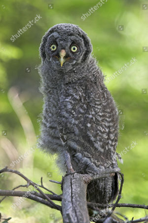 Great Grey Owl (Strix nebulosa), chick, perched on branch, Finland, Europe