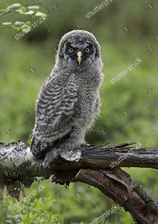 Great Grey Owl (Strix nebulosa), chick, perched on birch branch, Finland, Europe