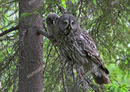 Stock Image of Great Grey Owl (Strix nebulosa), adult with chick, perched in Norway Spruce (Picea abies), Finland, Europe