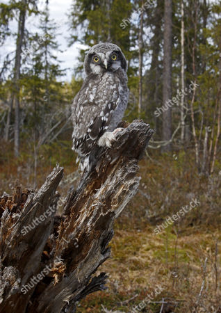 Stock Picture of Northern Hawk Owl (Surnia ulula), chick, perched on stump in coniferous forest, Finland, Europe