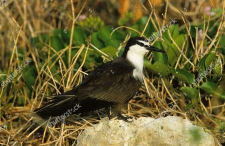Bridled Tern (Sterna anaethetus), adult on rock, Lady Eliot Island, Queensland, Australia