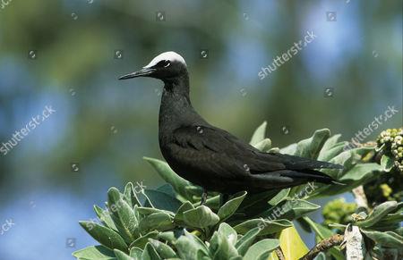 Black Noddy (Anous minutus), perched on top of bush, Lady Eliot Island, Queensland, Australia