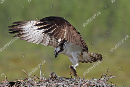 Osprey (Pandion haliaetus), adult male, returning to nest with chick with roach in talons, Finland, Europe