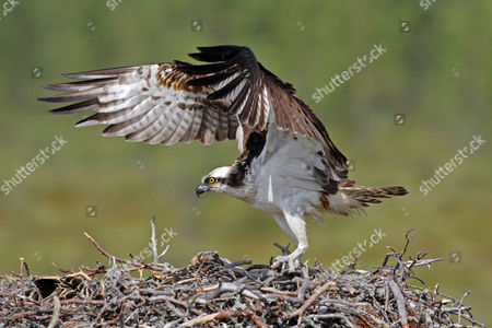 Stock Photo of Osprey (Pandion haliaetus), adult male, returning to nest with chick with roach in talons, Finland, Europe