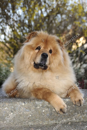 Chow Chow, male dog, portrait, attentive look