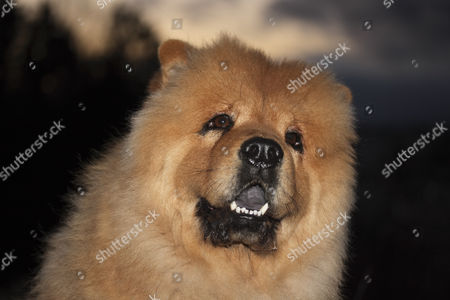 Chow Chow male dog, looking up, portrait