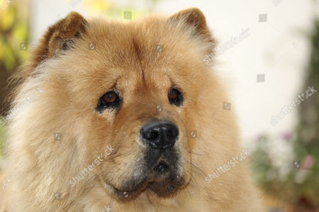 Portrait of a male red Chow Chow (Canis lupus familiaris)